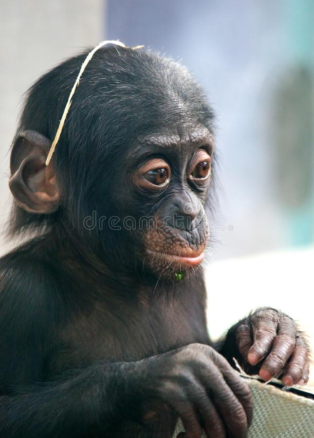 Little baby chimpanzee monkey sits with sad expression looking at camera. Little baby chimpanzee monkey sits with sad expression looking at camera stock image