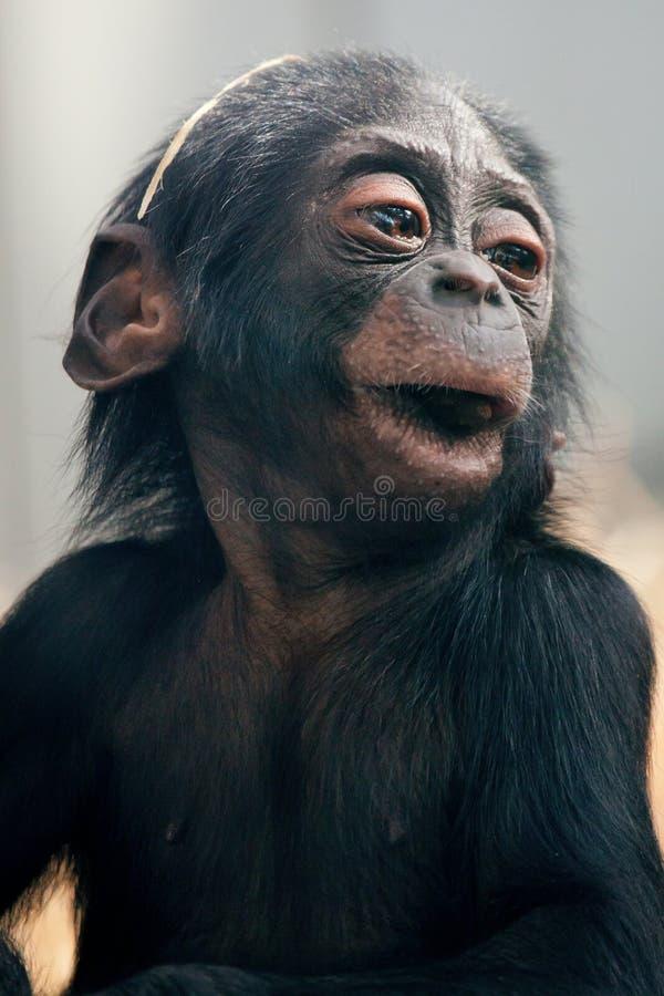 Little baby chimpanzee monkey sits with sad expression looking at camera. Little baby chimpanzee monkey sits with sad expression looking at camera stock photography