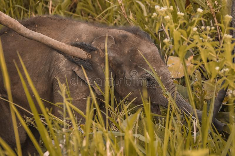 Little baby elephant with mothers tail. Little baby elephant touched by mothers tail royalty free stock image