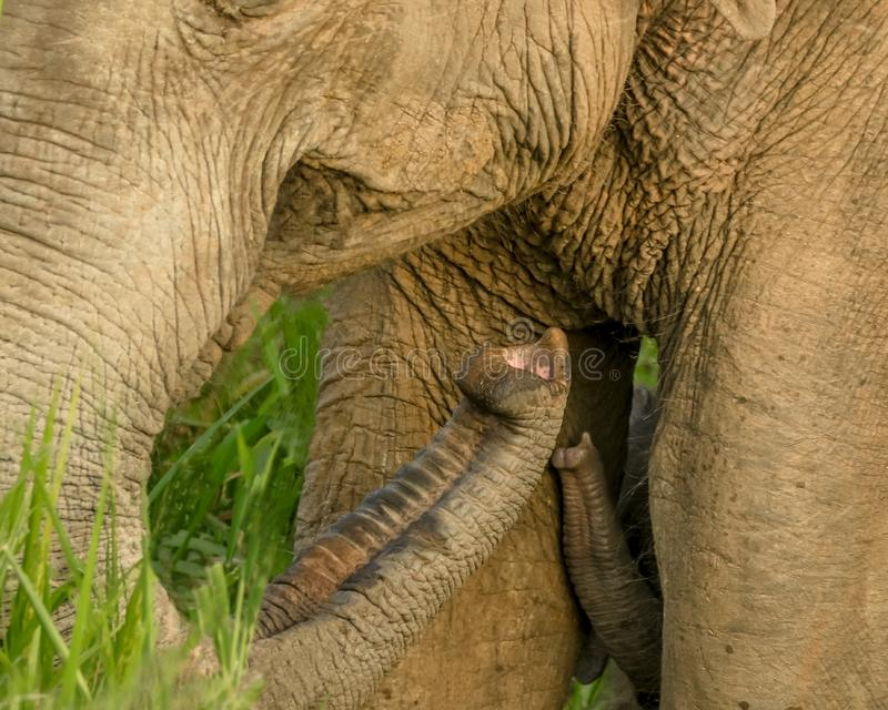 Seeking for love. Little baby elephant raising trunk seeking for mothers love and protection stock image