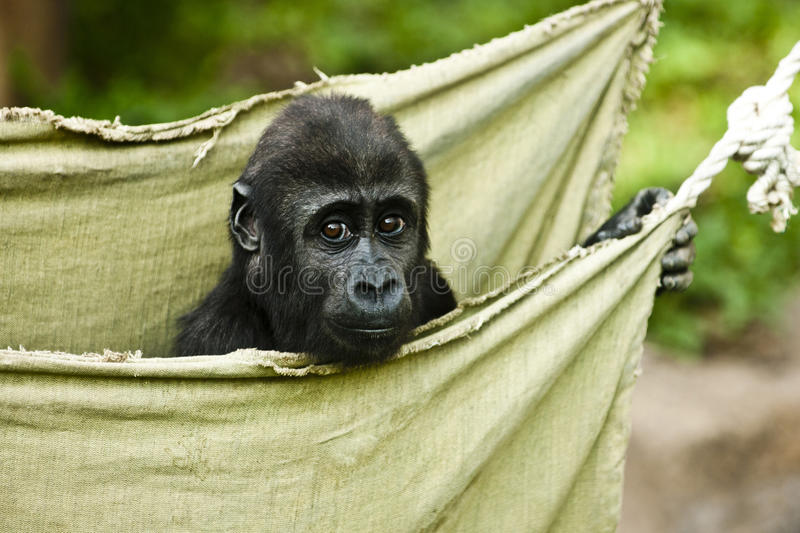 Little baby gorilla stock photography
