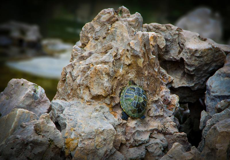 Little baby green turtle trying to climb on a rock stock photography