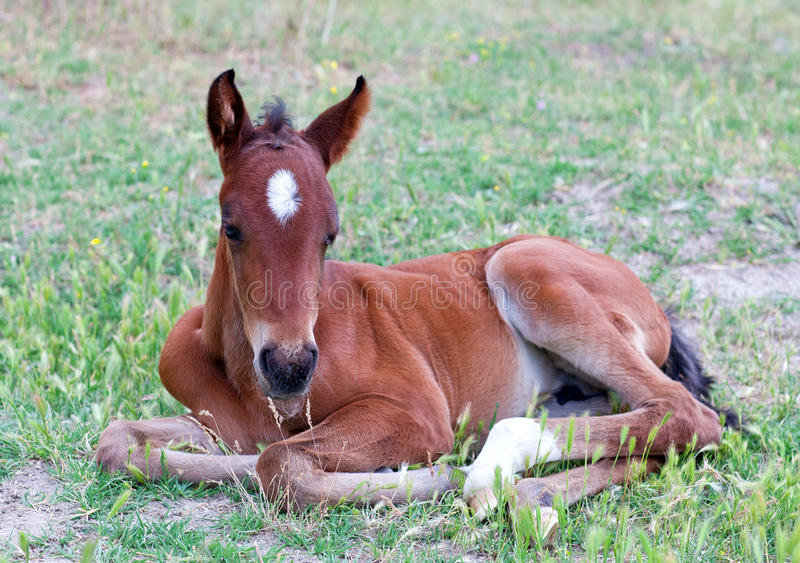 Little baby horse lying on a fresh green grass stock images