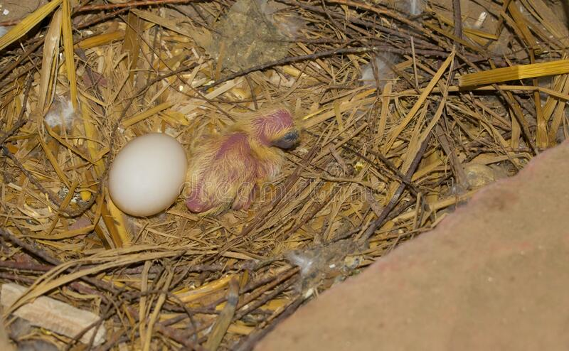 A little baby pigeon in a nest with. Its brother egg.A common pigeon chick in nest stock image