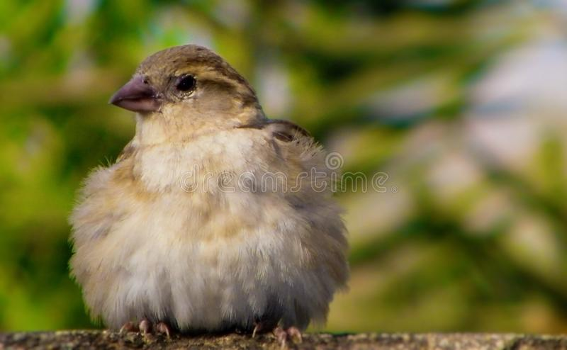 The little baby sparrow sitting on a wall. Looking beautiful royalty free stock images