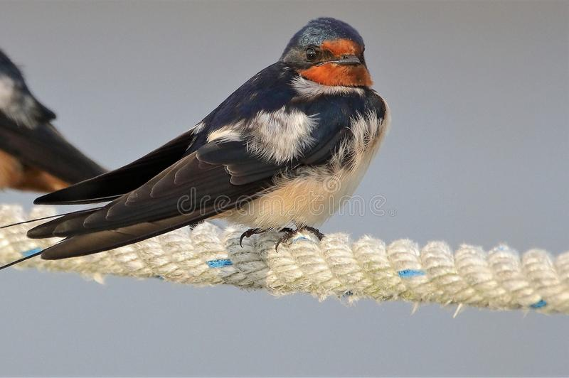 Portrait of a Barn Swallow. The little Barn Swallow is all eyes as it posed for this image. The Swallow is a small fast flying bird that does not stay in one royalty free stock photo