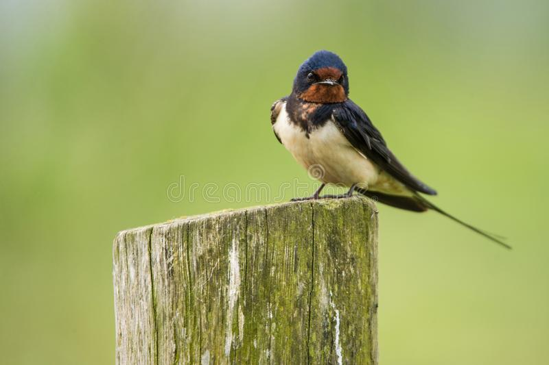 Little barn swallow sitting on a mossy tree trunk stock photography