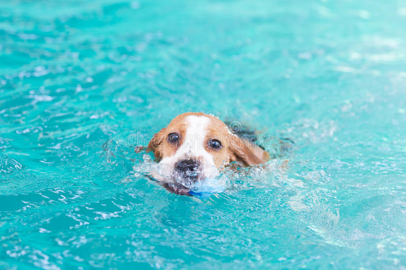 Little beagle dog playing toy in the swimming pool. Happy stock photos