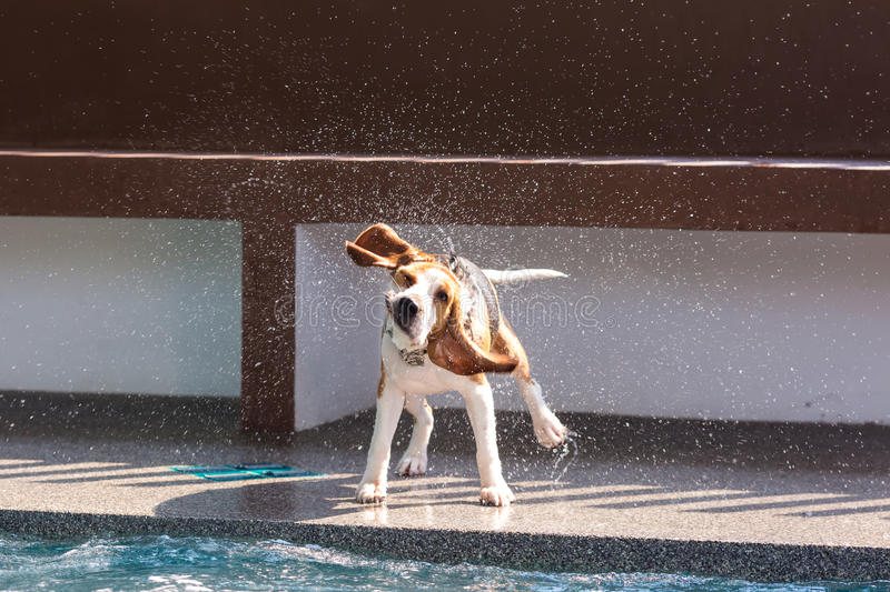 Little beagle dog splash water at the rim of swimming pool. Stop shot royalty free stock images