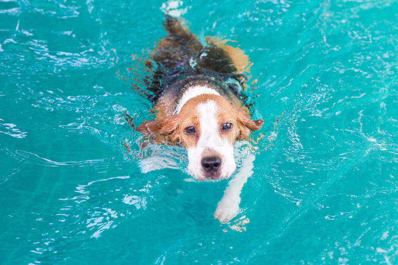 Little beagle dog swimming in the pool. Little beagle dog is swimming in the pool royalty free stock photo