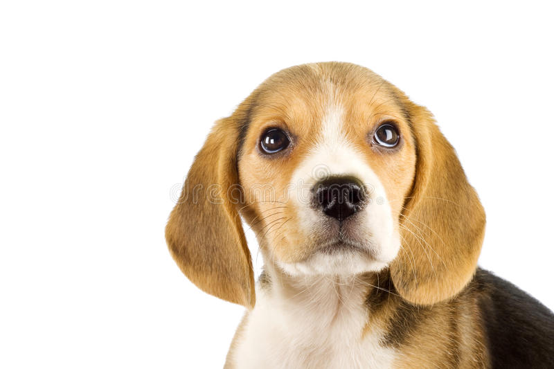Little beagle puppy stock photography