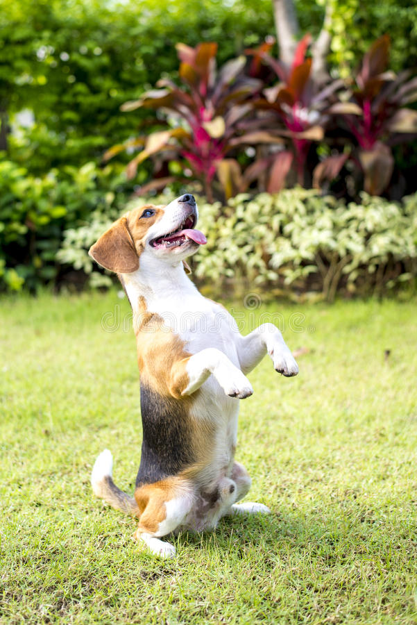 Little beagle puppy royalty free stock images