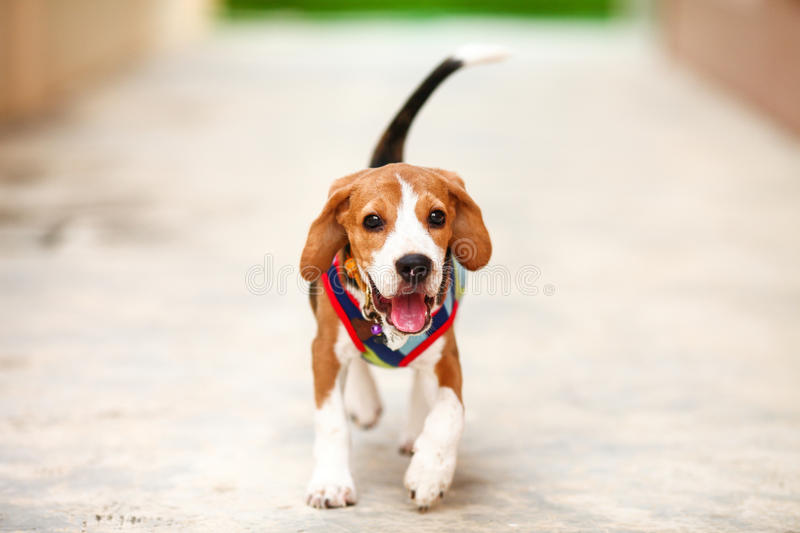 Little Beagle is running with happiness face stock photography