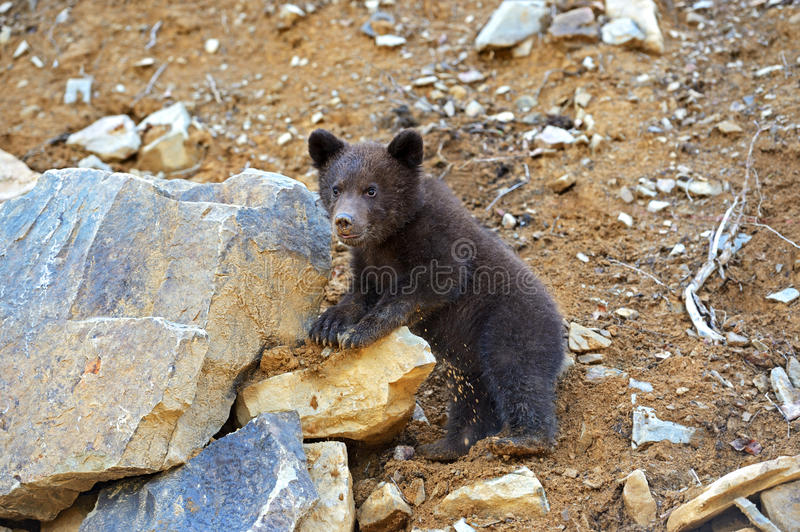 Download Little Bear stock photo. Image of karpaty, trees, predator - 32188712