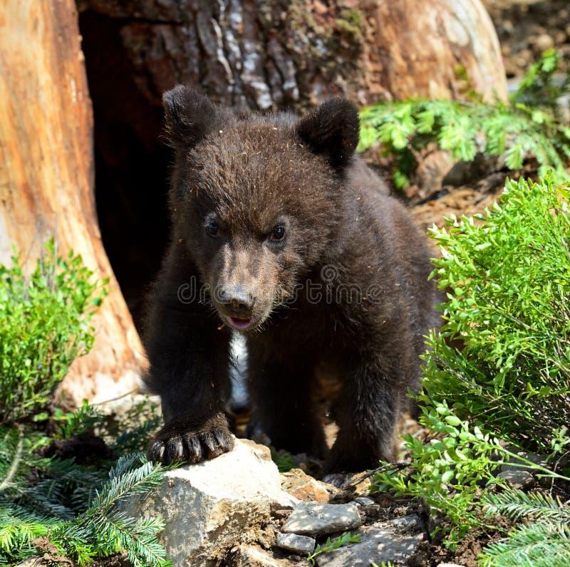 Download Little Bear stock image. Image of carpathian, habitat - 32188715