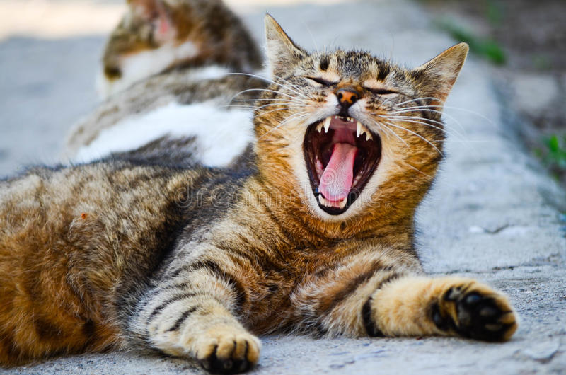 Little beautiful cat yawn. Little cute cat laying and yawns stock images