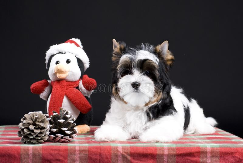Little beautiful dog biewer Yorkshire Terrier puppy. Pretty dog puppy with short coat with penguin snowman and bumps on black and red backgrouhd breed biewer stock photography