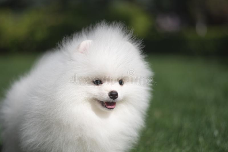 Little beautiful funny white dog German spitz puppy on green grass runs plays and sits royalty free stock images