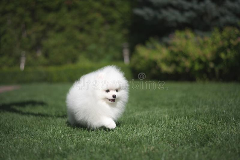 Little beautiful funny white dog German spitz puppy on green grass runs plays and sits stock image