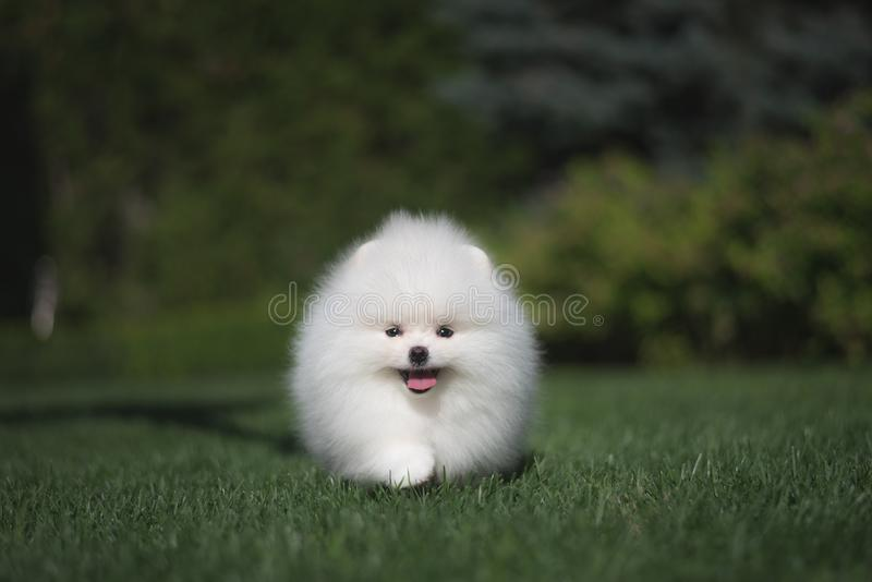 Little beautiful funny white dog German spitz puppy on green grass runs plays and sits stock images