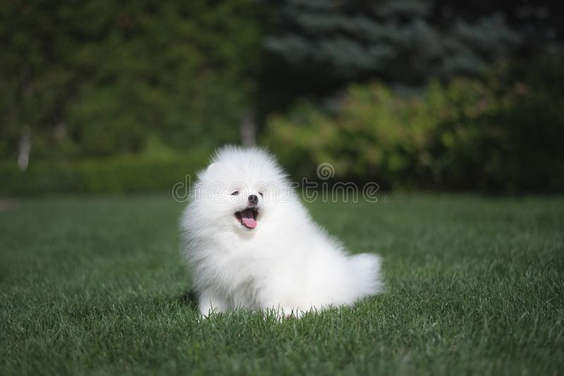 Little beautiful funny white dog German spitz puppy on green grass runs plays and sits royalty free stock photo