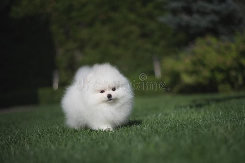Little beautiful funny white dog German spitz puppy on green grass runs plays and sits royalty free stock photography