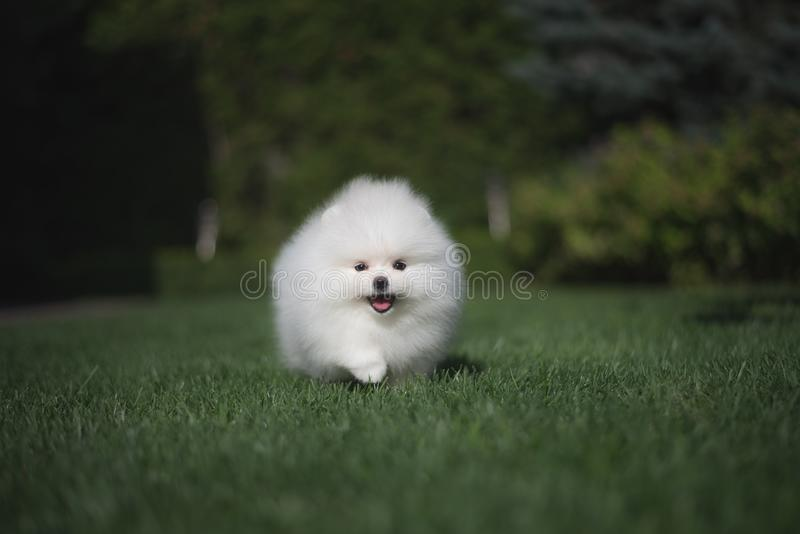 Little beautiful funny white dog German spitz puppy on green grass runs plays and sits. Little beautiful funny white dog German spitz baby face puppy on green stock photography