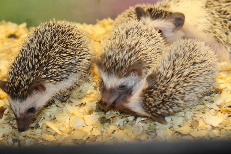 Little beautiful hedgehogs stock photos