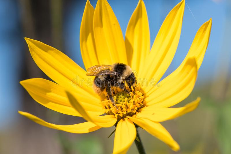 A little bee collects nectar from a flower Jerusalem artichoke i stock photos