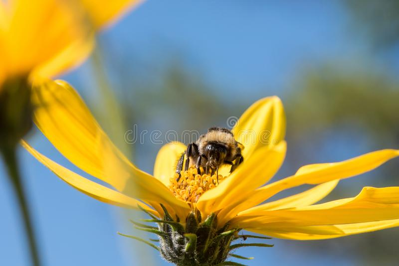 A little bee collects nectar from a flower Jerusalem artichoke in the summer against a blue sky royalty free stock photos