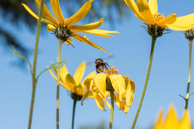 A little bee collects nectar from a flower Jerusalem artichoke in the summer against a blue sky stock photo