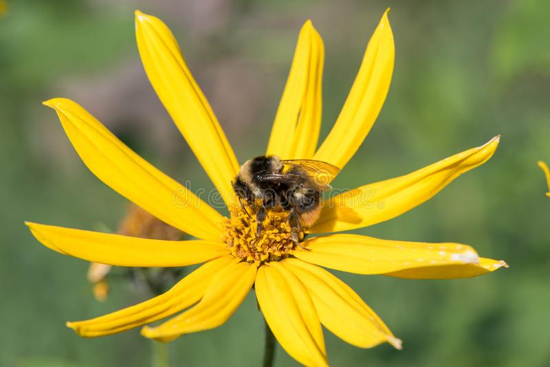 A little bee collects nectar from a flower Jerusalem artichoke in the summer against a blue sky royalty free stock images