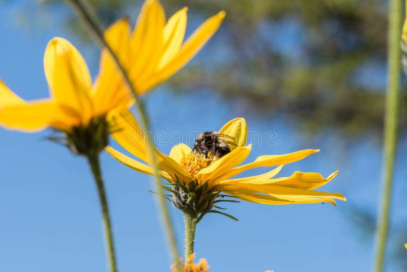 A little bee collects nectar from a flower Jerusalem artichoke i royalty free stock image