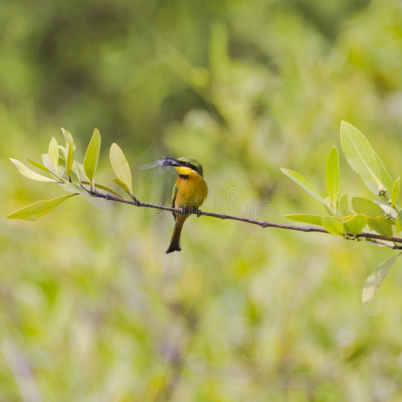 Little Bee-eater royalty free stock images