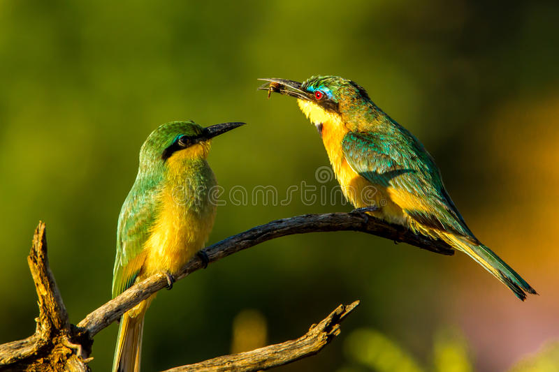 Little Bee Eater. Adult Little Bee Eater Presenting Bee to Immature Chick stock photography