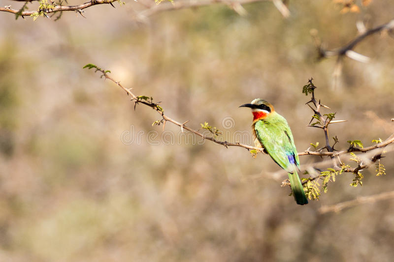 Little Bee Eater stock photography