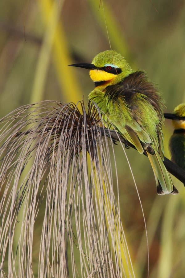 Little Bee-eater - Okavango Delta - Botswana royalty free stock photos