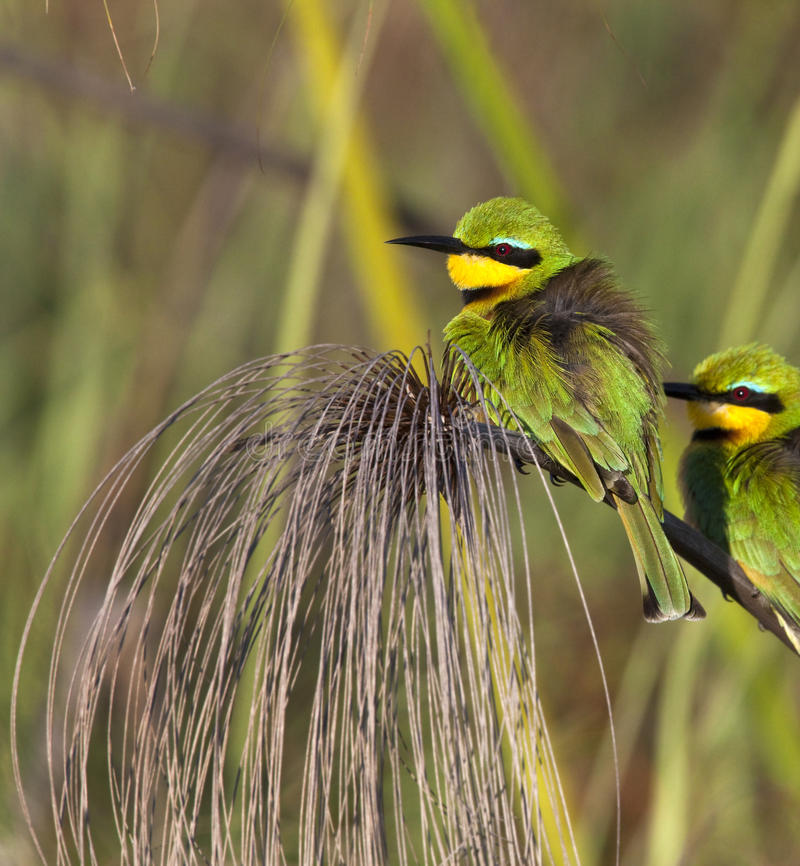 Little Bee-Eater - Okavango Delta - Botswana royalty free stock image