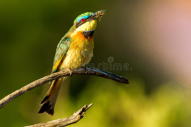 Little Bee Eater. Single Adult Little Bee Eater With Bee In Its Beak Perched on Bare Branch royalty free stock images