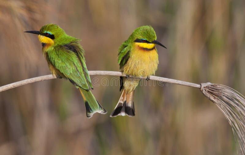 Little Bee-Eaters - Okavango Delta - Botswana royalty free stock photography