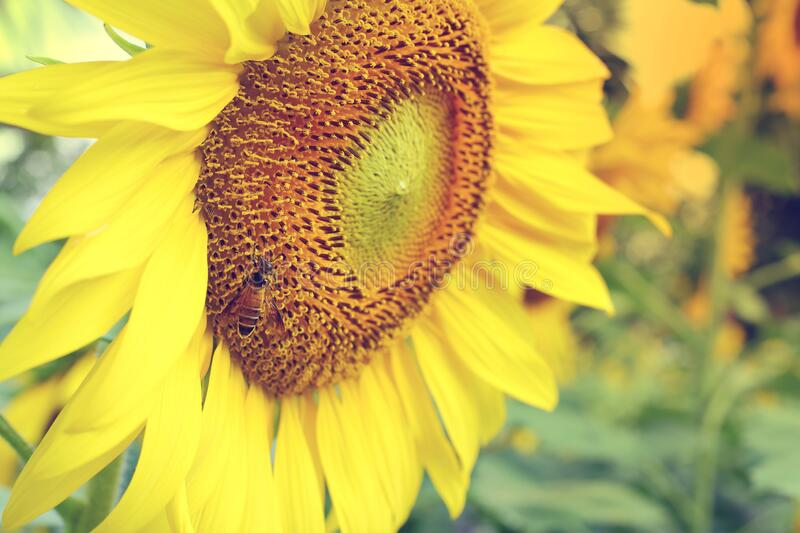 Little bee feeding pollen on sunflower. Close up bee and sunflower stock images