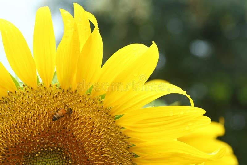 Little bee feeding pollen on sunflower. Natural background, blue sky stock photo