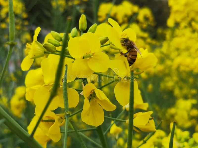 A little bee who is working hard to pick flowers.  royalty free stock photography