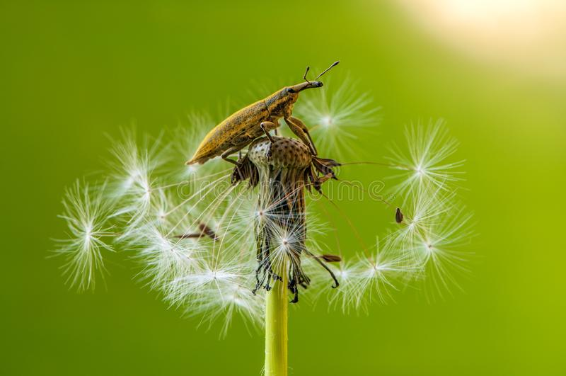 beetle Curculionidae on a dandelion flower on a summer day stock photography