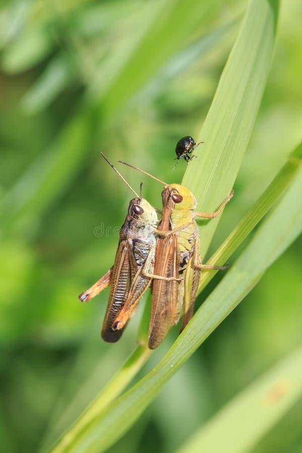 Mating locusts stock photo. Image of nature, grasshopper ...