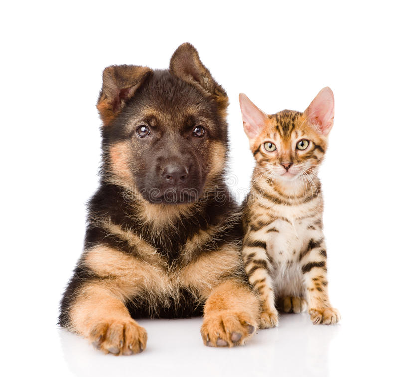 Little bengal cat and german shepherd puppy dog lying together. Isolated on white stock photos