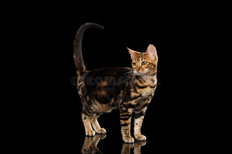 Little Bengal Cat Standing and Raise tail, Isolated Black Background. Little Bengal female Cat Standing and Raise tail on Isolated Black Background, Side view royalty free stock image