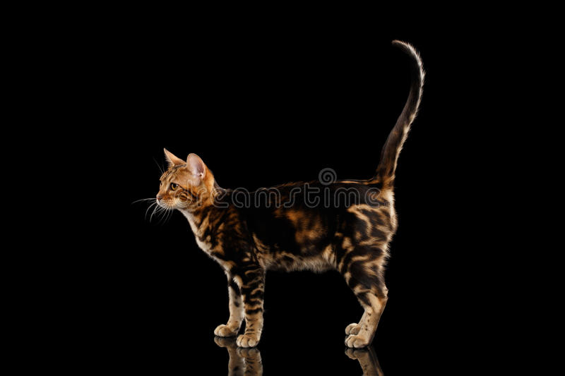 Little Bengal Cat Standing and Raise tail, Isolated Black Background. Little Bengal female Cat Standing and Raise tail on Isolated Black Background, Side view stock image
