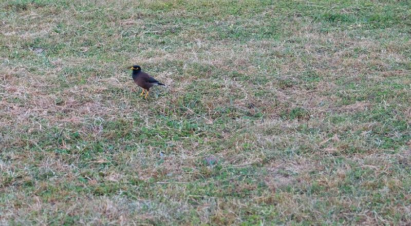 A little bird with beautiful iridescent feathers. Bird on a green lawn stock photo