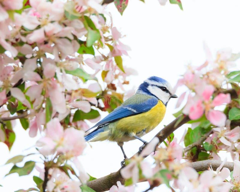 Little bird in beautiful tree. Little bird in beautiful cherry tree royalty free stock image